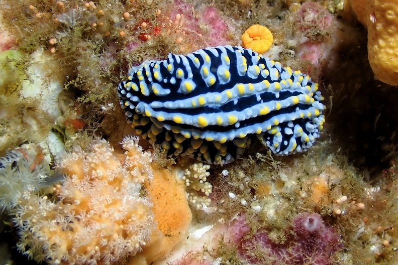 Philippe Pluvinage_Nudibranches_06.JPG