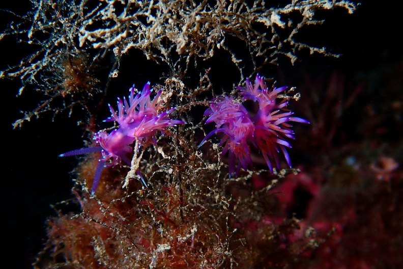 Philippe Pluvinage_Nudibranches_03.jpg